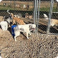 Australian Shepherd Dog for adoption in Parker, Kansas - Bonzo