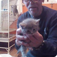 Domestic Shorthair Kitten for adoption in Baltimore, Maryland - Harlee (Cecil)