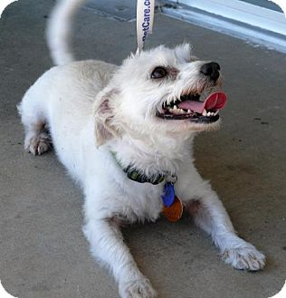 Cairn Terrier/Maltese Mix Dog for adoption in REDDING, California - Jude