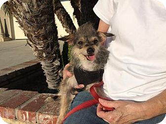 Yorkie, Yorkshire Terrier/Border Terrier Mix Dog for adoption in Orange, California - Bree