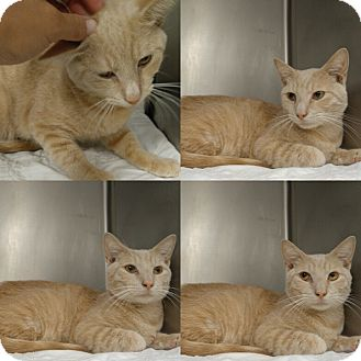 Domestic Shorthair Cat for adoption in Triadelphia, West Virginia - B-1