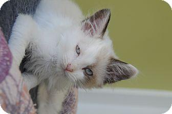 Domestic Longhair Kitten for adoption in Agoura Hills, California - Snow White