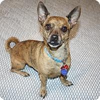 Chihuahua/Dachshund Mix Dog for adoption in Yorba Linda, California - Charlie - I'm an easy dog!