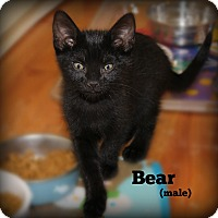 Domestic Shorthair Kitten for adoption in Glen Mills, Pennsylvania - Bear