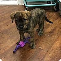 Adopt A Pet :: Hazel - Charlotte, NC