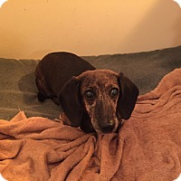 Dachshund Mix Dog for adoption in Georgetown, Kentucky - Baby