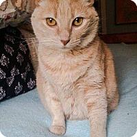 Domestic Shorthair Cat for adoption in Mansfield, Texas - Assata