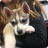Adopt A Pet :: #16-03 Ice - St Helens, OR