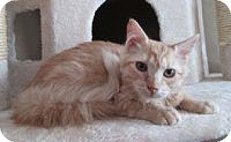 Domestic Mediumhair Cat for adoption in San Bernardino, California - Sunflower