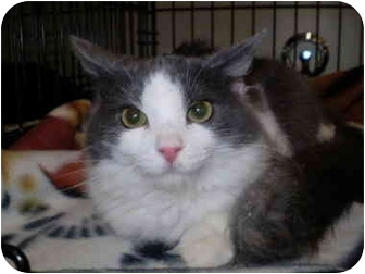 Maine Coon Cat for adoption in San Ramon, California - Rhonda Lee