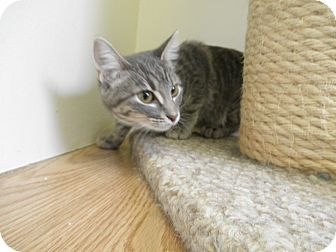 Domestic Mediumhair Kitten for adoption in Milwaukee, Wisconsin - Toots
