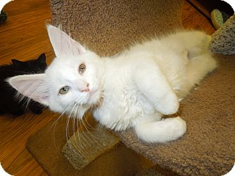 Domestic Mediumhair Kitten for adoption in Medina, Ohio - Navajo