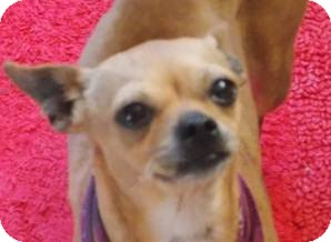 Chihuahua Mix Dog for adoption in San Diego, California - Chatty Cathy