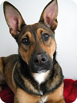 Belgian Malinois/Shepherd (Unknown Type) Mix Puppy for adoption in Monteregie, Quebec - Rudy