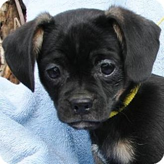 Pug/Terrier (Unknown Type, Small) Mix Puppy for adoption in Gilbert, Arizona - Lucille
