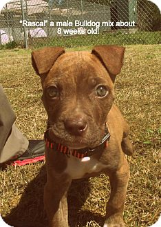 Pit Bull Terrier/Boxer Mix Puppy for adoption in Gadsden, Alabama - Rascal