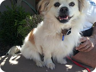 Pomeranian/Cocker Spaniel Mix Dog for adoption in Phoenix, Arizona - Melissa