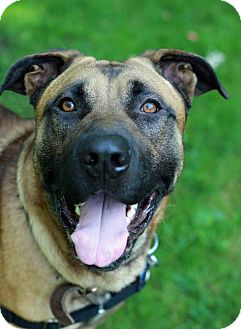 Shepherd (Unknown Type) Mix Dog for adoption in Tinton Falls, New Jersey - Aries