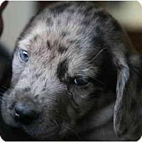 Adopt A Pet :: Darby - Richmond, VA