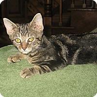 Adopt A Pet :: Pitty Pat - Acme, PA