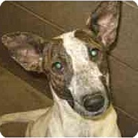 Adopt A Pet :: Freckles - Gilbert, AZ