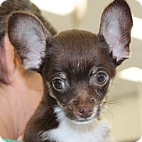 Adopt A Pet :: Tiny Abbott - La Habra Heights, CA