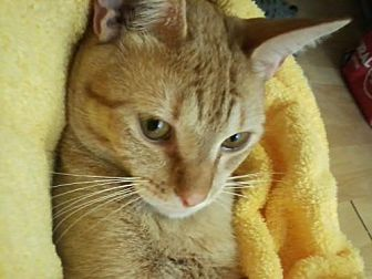 Domestic Shorthair Cat for adoption in Orange City, Florida - Fritz