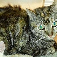 Domestic Mediumhair Cat for adoption in Freeport, Florida - Ashland