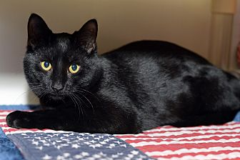 Domestic Shorthair Cat for adoption in Whitehall, Pennsylvania - Joshua