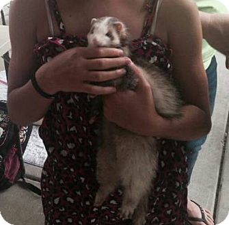 Ferret for adoption in South Bend, Indiana - Farrah
