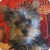 Adopt A Pet :: Little Britches - Greenville, RI