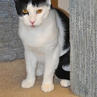 Domestic Shorthair Cat for adoption in Pompano Beach, Florida - Panda Bear