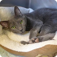 Adopt A Pet :: Kit Kat 33104376 - Westampton, NJ