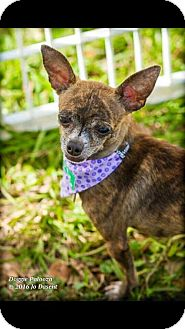 Chihuahua Dog for adoption in Davie, Florida - Betty