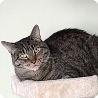 Domestic Shorthair Cat for adoption in Van Nuys, California - Atlas