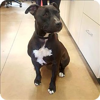 American Pit Bull Terrier Mix Dog for adoption in Riverside, California - Summer