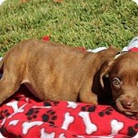 Adopt A Pet :: SuzyQ - St Louis, MO