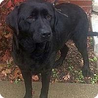 Labrador Retriever Mix Dog for adoption in Rossford, Ohio - CHLOE