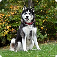 Alaskan Malamute/Husky Mix Dog for adoption in Westminster, Maryland - Loki