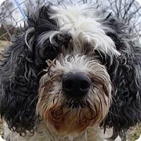 Adopt A Pet :: Zuzu - Oswego, IL