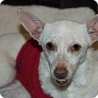 Adopt A Pet :: Midge - La Habra Heights, CA