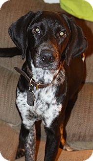 German Shorthaired Pointer/Plott Hound Mix Dog for adoption in Columbia, Tennessee - Mario