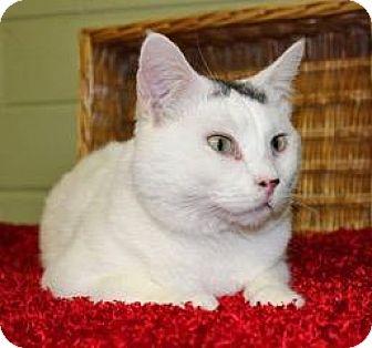 Domestic Shorthair Cat for adoption in Cedar Rapids, Iowa - Snowflake