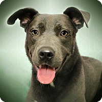 Weimaraner/Pit Bull Terrier Mix Dog for adoption in Los Angeles, California - RAY (video)