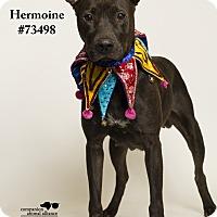 Adopt A Pet :: Hermoine - Baton Rouge, LA