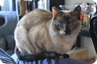 Siamese Cat for adoption in Los Angeles, California - Lena