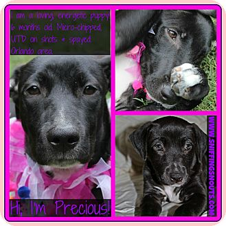 Labrador Retriever/American Staffordshire Terrier Mix Puppy for adoption in Orlando, Florida - Precious