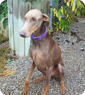 Doberman Pinscher Dog for adoption in New Richmond, Ohio - Nilla