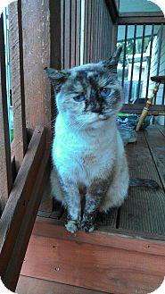 Siamese Cat for adoption in Morgan Hill, California - Cupcake