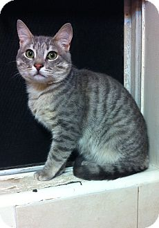 Domestic Shorthair Cat for adoption in Long Beach, California - Casey